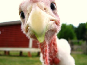 Turkey face, bird, close up.